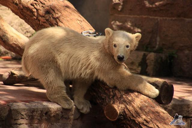 Eisbär Fiete im Zoo Rostock 23.05.2015 65