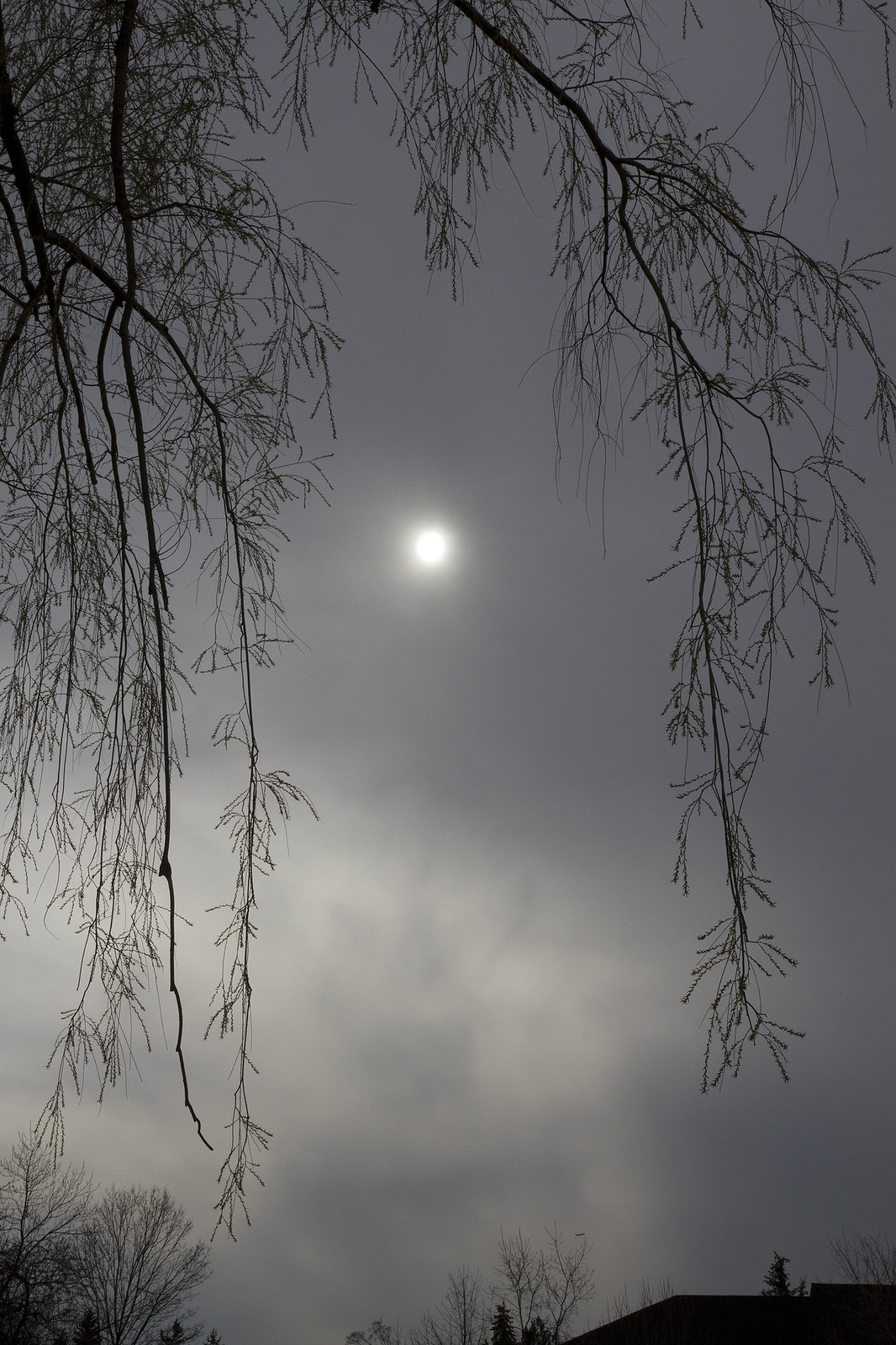 hazy sun and willow