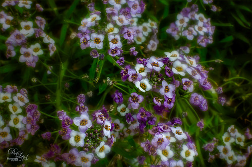Image of some purple and white flowers from the Harry P. Leu Gardens in Orlando, Florida
