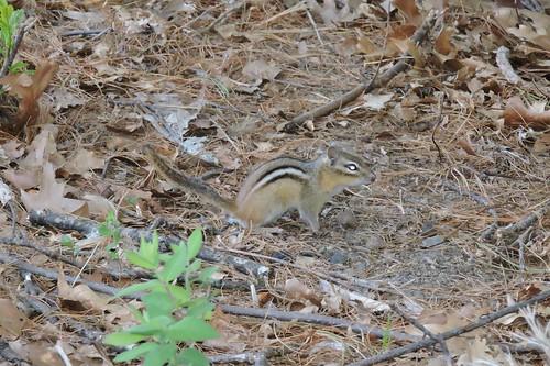 Eastern Chipmunk mammal #7