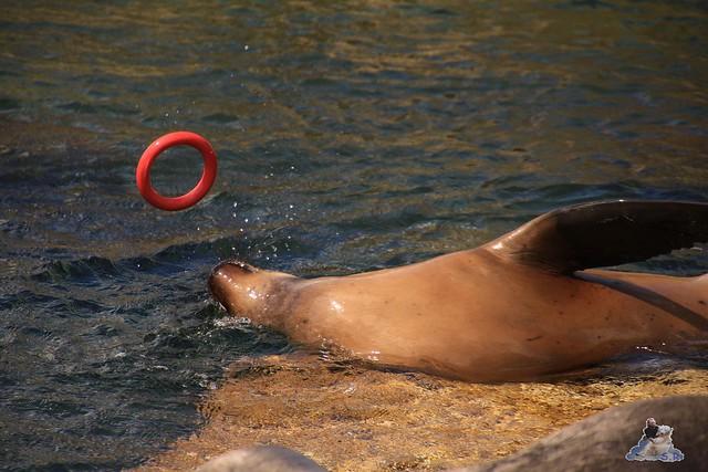 Eisbär Lili im Zoo am Meer 15.05.2016  93