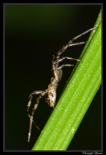 Episinus maculipes