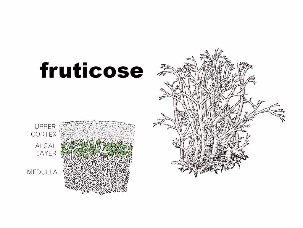 fruticose diagram | The cross section on the left is a ...