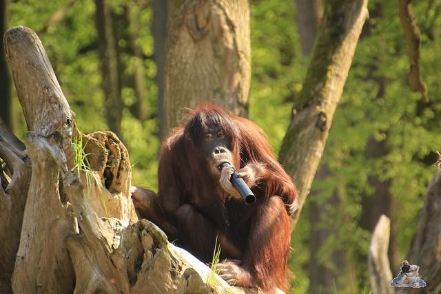 Eisbär Fiete Zoo Rostock 03.05.2015 Teil 3 108