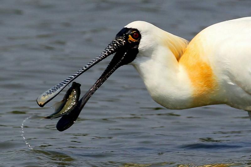 曾文溪口與四草濕地黑面琵鷺為了覓食,族群數量逐漸往周邊濕地擴散,西海岸的串聯成關鍵。攝影:呂宏昌,圖片提供:林務局。