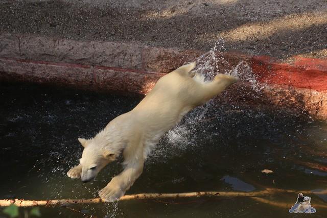 Eisbär Fiete im Zoo Rostock 23.05.2015 264