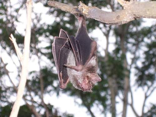 A vampire bat hanging in Mexico