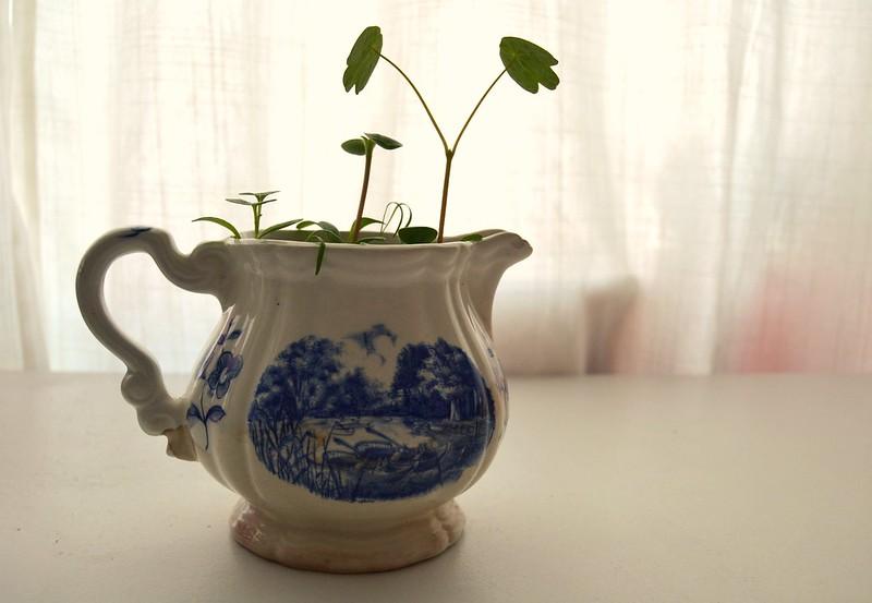 planta en lecherita