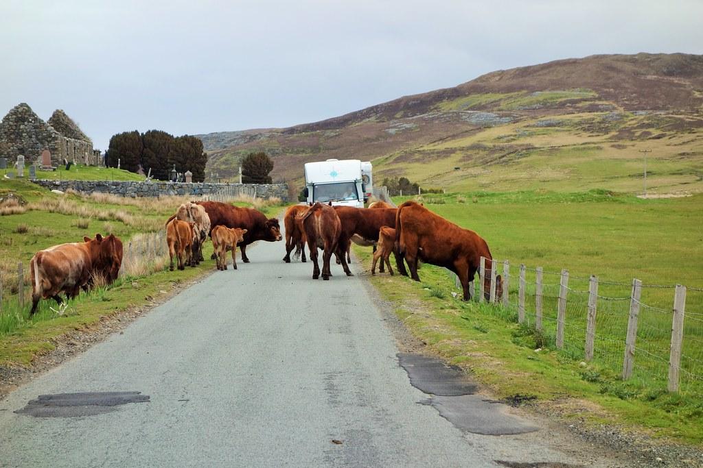 Bovine road blockage, road to Elgol, Skye