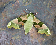 69.001 Lime Hawk-moth - Mimas tiliae