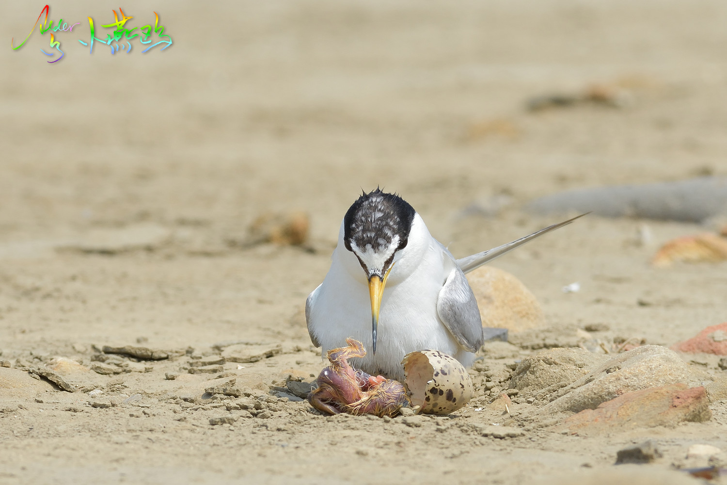 Little_Tern_4859