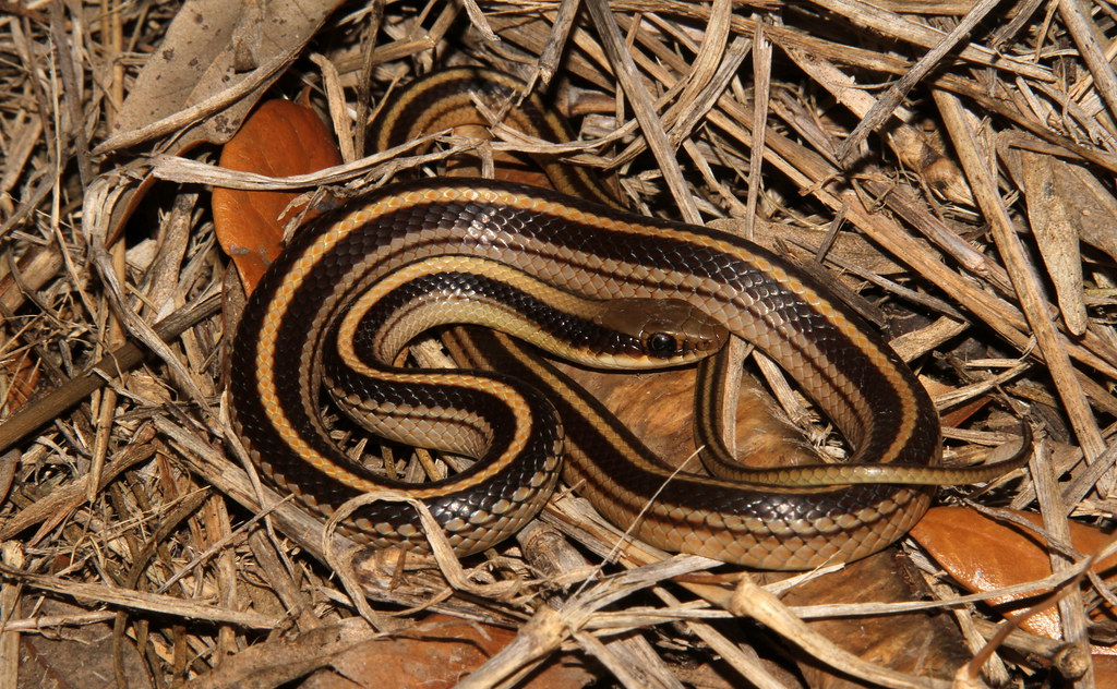 Salvadora Grahamiae Grahamiae Salvadora Grahamiae Lineata Texas Patchnose Snake