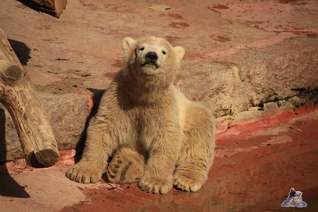 Eisbär Fiete Zoo Rostock 03.05.2015 Teil 3 144