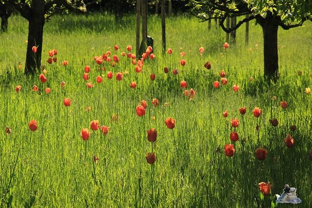 Britzer Garten Tulipan 15.05.2015  2