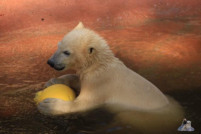 Eisbär Fiete im Zoo Rostock 23.05.2015 231