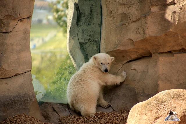 Eisbär Lili im Zoo am Meer 15.05.2016  306