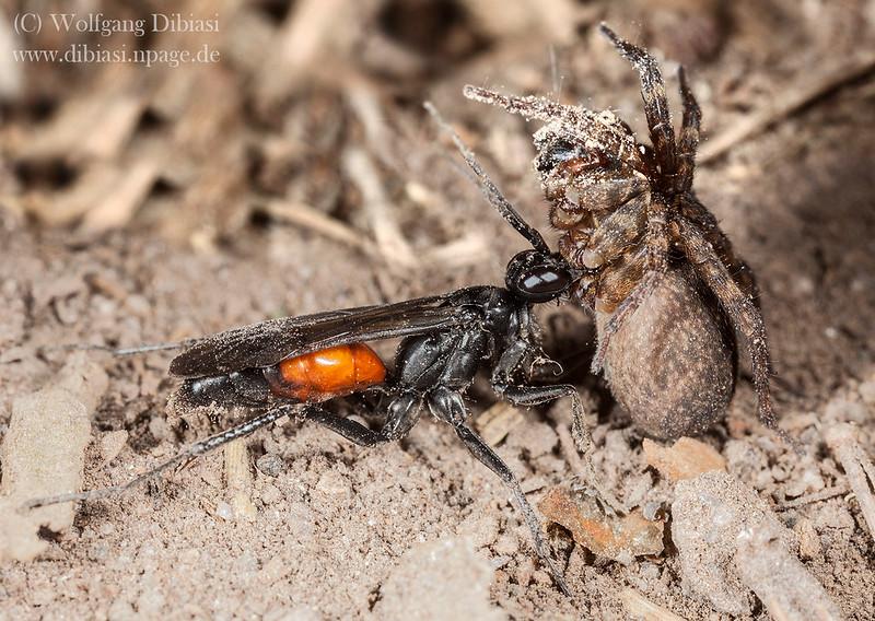 Wegwespe, Anoplius sp mit erbeuteter Spinne