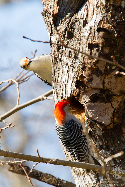Mating Pair of Red-bellied Woodpeckers