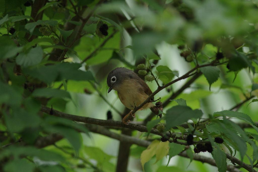 綠啄花  竹鳥   繡眼畫眉