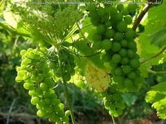 Wein entblättern