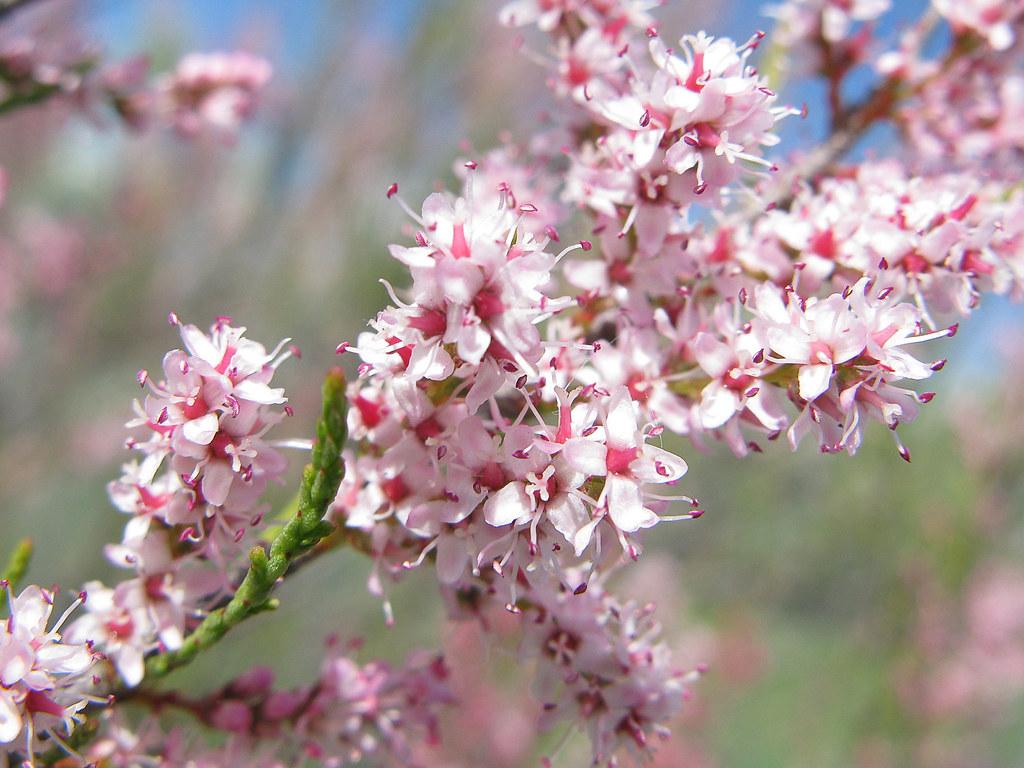 Tamarix flores jacinta lluch valero flickr - Arbustos con flores ...