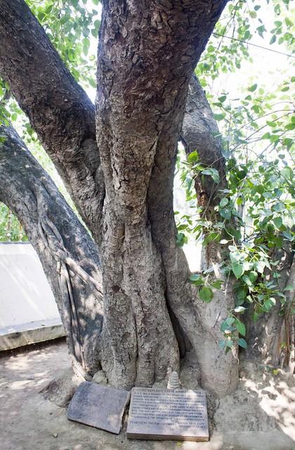 Bodhi Tree - Mulghandha Kuti Vihara Temple - Sarnath, Uttar Pradesh
