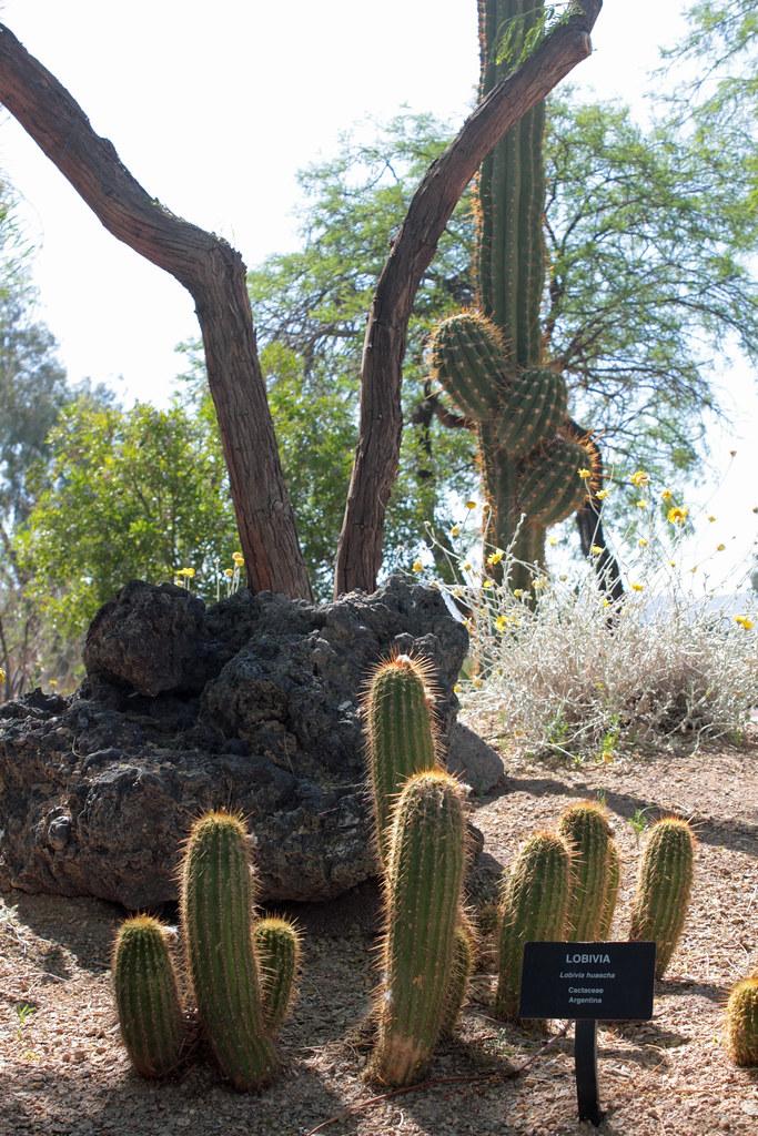 Lobivia Lobivia Huascha Ethel M Botanical Cactus Gardens Flickr