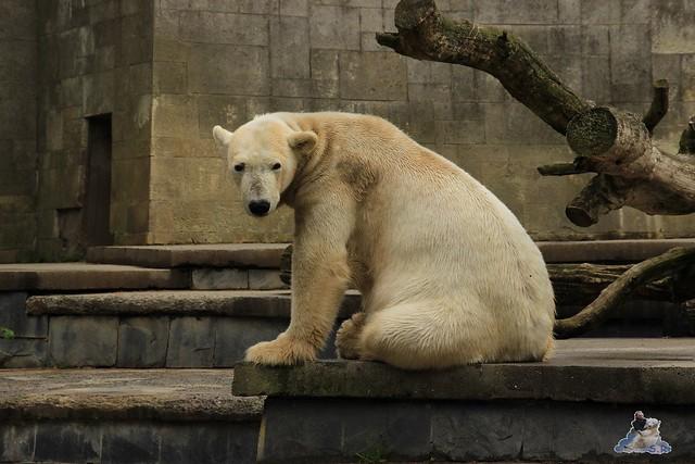 Eisbär Fiete im Zoo Rostock 23.05.2015 10