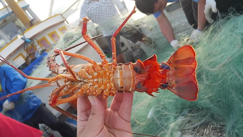 已抱卵的龍蝦喪命於流刺網。圖片來源:蔡馥嚀。