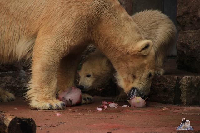 Eisbär Fiete im Zoo Rostock 03.05.2015  153