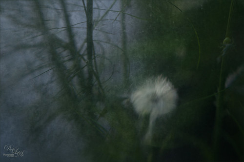 Image of a Dandelion with a soft focus effect