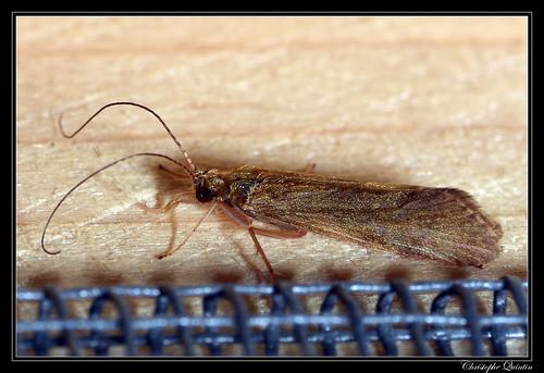 Psychomyiidae (Psychomyia sp. ?)