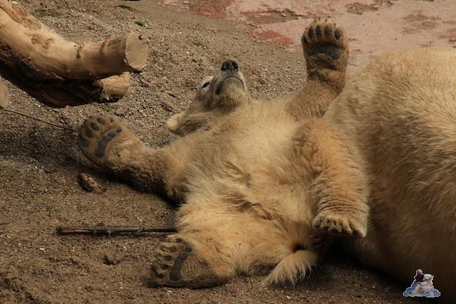 Eisbär Fiete im Zoo Rostock 23.05.2015 25