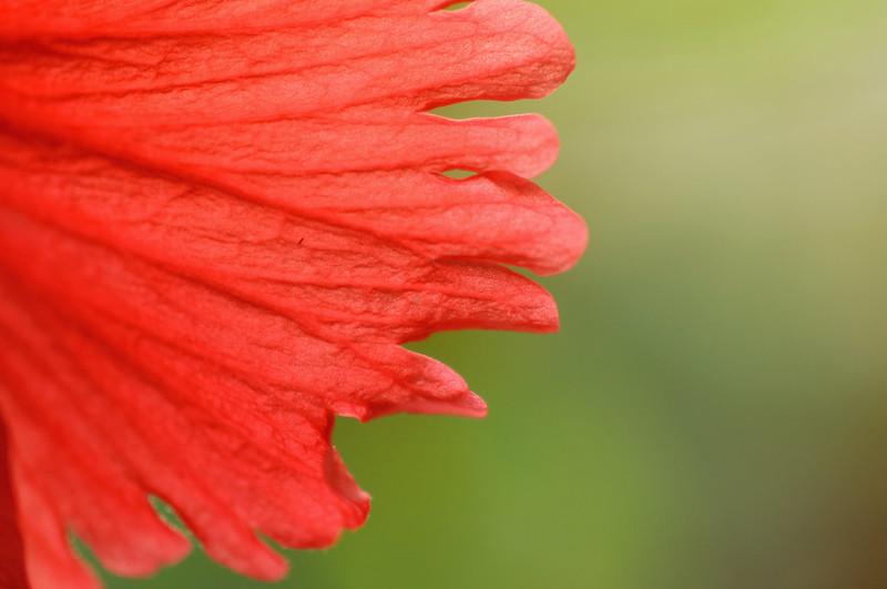 Day 99.365 - Hibiscus