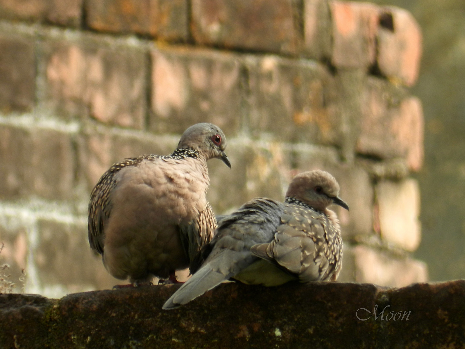 doves, pigeons, partners, birds