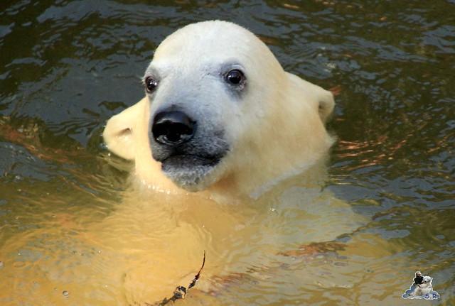 Eisbär Fiete im Zoo Rostock 23.05.2015 266
