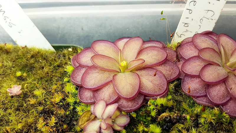 Pinguicula rotundiflora × hemiepiphytica bud.