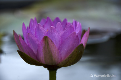 Waterlelie Siam Purple 2 / Nymphaea Siam Purple 2