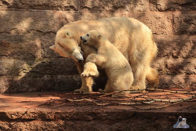 Eisbär Fiete im Zoo Rostock 03.05.2015  43