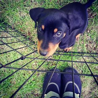 Hey Mama, I think those shoes were made for walking... not going to work.  #puppyproblems #puppiesofinstagram #puppygram #dobermanmix #rescueddogsofinstagram #instapuppy #puppylove