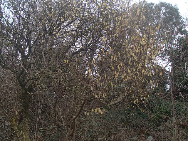 whitebeam catkins 5feb15