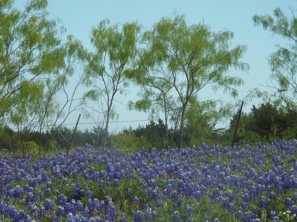 Bluebonnets, Bluebonnet Park, Ennis, Texas, April 18, 2015 ...