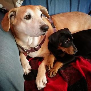 Sisters 💜 #dobermanmix #houndmix #puppylove #puppygram #rescueddogsofinstagram #adoptdontshop #muttsofinstagram #puppiesofinstagram #instapuppy #instadog #seniordog #ilovemydogs