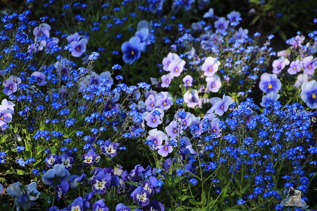 Britzer Garten Tulipan 15.05.2015  52