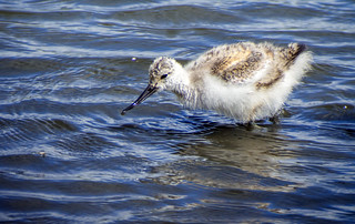 avocet chick 459 (122)