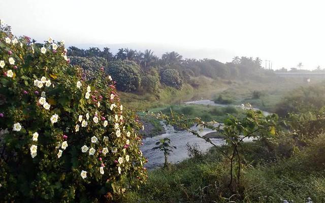 佳平溪的山芙蓉。圖片來源:朱玉璽