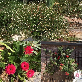 #flowers from the front yard #santabarbaradaisies #gerberdaisy and #josephscoatrose