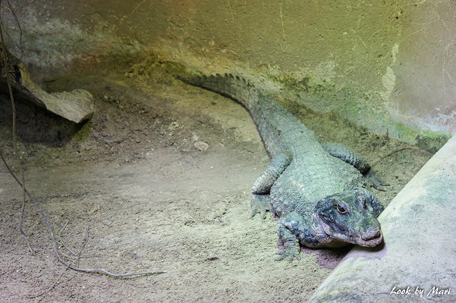 krokotiili-1