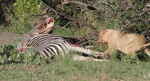 Male lion vs crocodile
