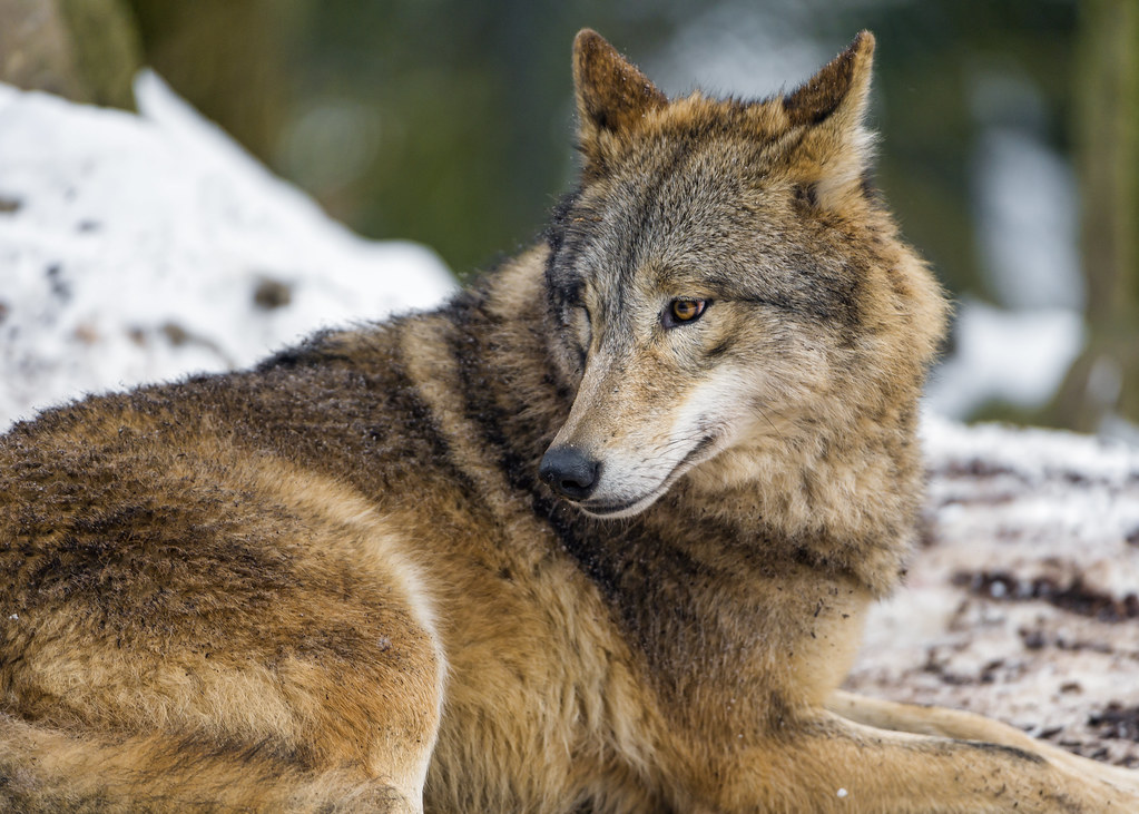 Wolf lying on back - photo#5